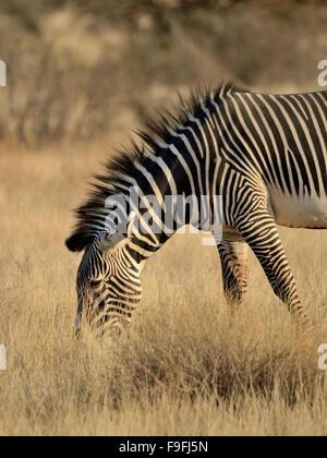 Grevy's zebra a rare subspecies of zebra - Stock Photo