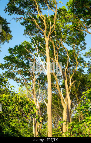 The canopy of some beech trees in the evening light - Stock Photo