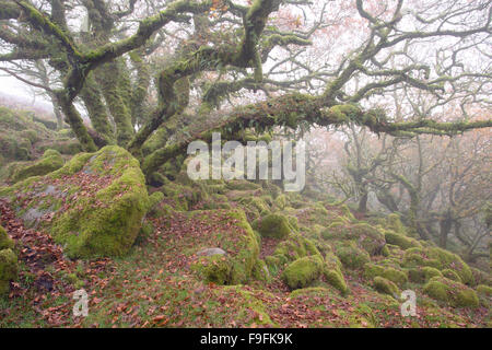 Twisted ancient oaks in a misty Wistmans Wood Dartmoor National Park Devon Uk - Stock Photo