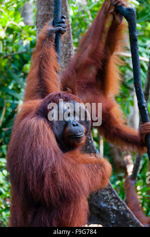 two Orangutan hanging on a tree in the jungle, Indonesia - Stock Photo