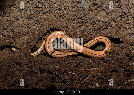 Slow worm (Anguis fragilis) in soil shaped like a figure of eight. A juvenile legless lizard exposed in soil when - Stock Photo