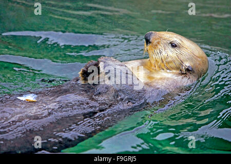 Sea Otter swimming on its back, relaxied Stock Photo