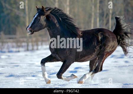 Black Arabian Stallion galloping on snow - Stock Photo