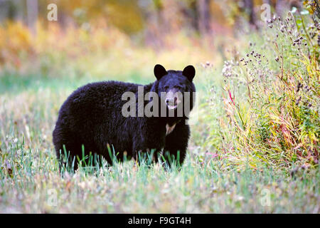 Big female Black Bear standing in meadow, autumn colors - Stock Photo