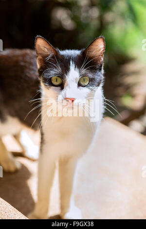 Black and white kitten making eye contact - Stock Photo