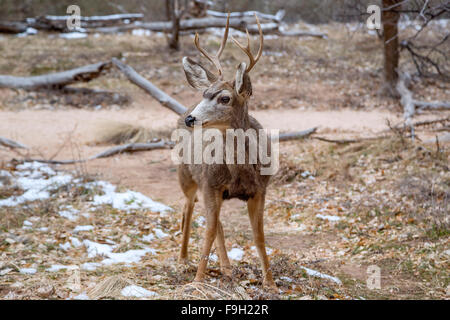 Male deer inside Zion National Park, Utah - Stock Photo