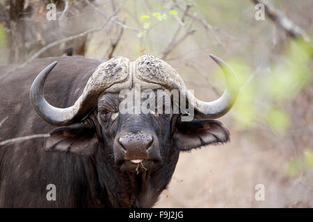 Closeup view of An African Buffalo Bull at Greater Kruger National Park in South Africa - Stock Photo