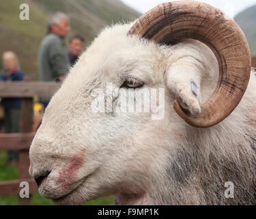 Herdwick Sheep Ram at the Wasdale Head Sherherd's Meet, Cumbria, England, UK - Stock Photo