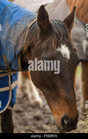 Bay thoroughbred horse with white star on face, eating hay wearing a blue rug - Stock Photo