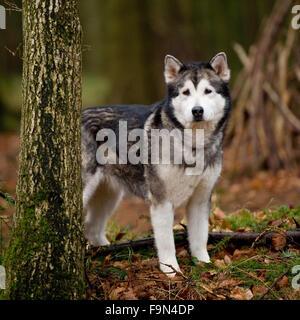 alaskan malamute in woods - Stock Photo