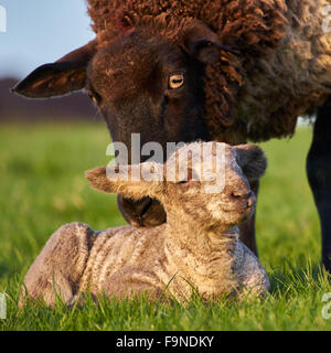 A Ewe or mother sheep with her lamb in the spring countryside - Stock Photo