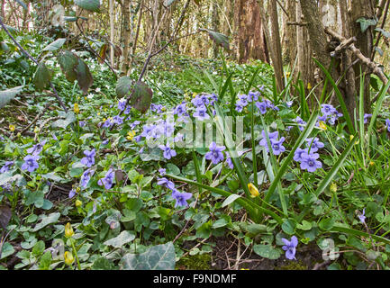 Common Dog Violet and other wild flowers form the ground flora of a deciduous woodland in the weald of Sussex - Stock Photo
