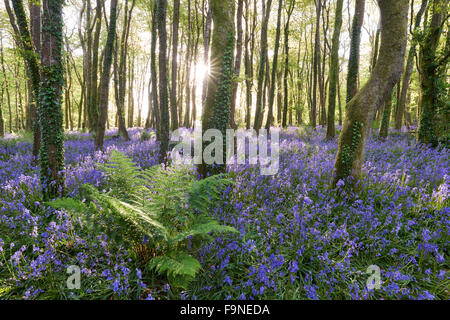 Sunlight shining between the trees and lighting up the bluebells on the woodland floor. - Stock Photo