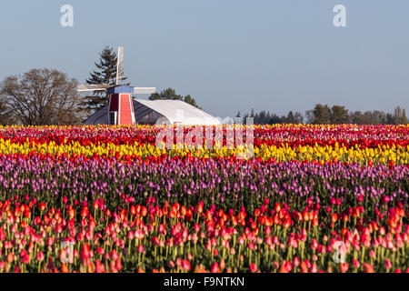 Row and rows of bright tulip flowers with a distant windmill and shelter on a farm on Oregon. - Stock Photo
