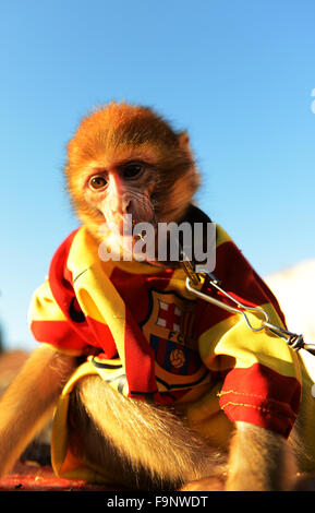 Two cute Barbary macaque monkeys dressed up with Stock ...