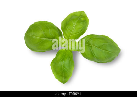 how to cut basil from plant