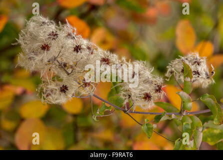 Traveller's-joy, Clematis vitalba in autumn colour and fruits, north Greece. - Stock Photo