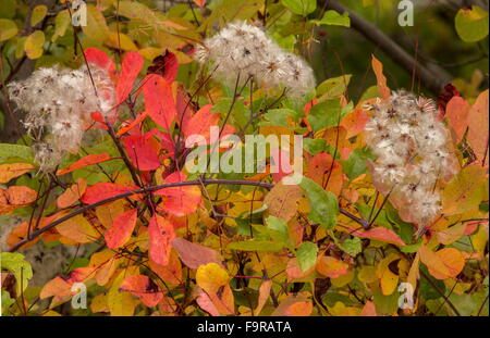 Traveller's-joy and Smoke Bush in autumn colour and fruits, north Greece. - Stock Photo