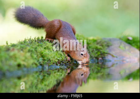A Red Squirrel (Sciurus vulgaris) reflected in a small woodland pool in the North Yorkshire Dales as it tries to - Stock Photo
