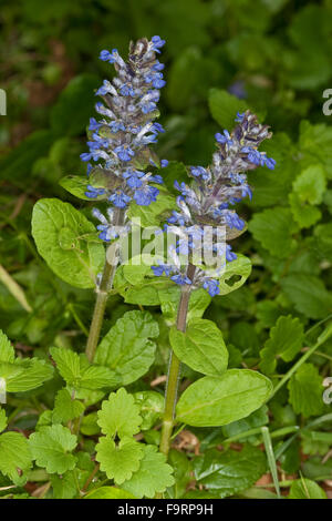 Bugle, blue bugle, bugleherb, bugleweed, carpetweed, carpet bungleweed, Kriechender Günsel, Ajuga reptans, La bugle - Stock Photo