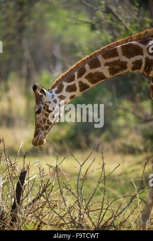 Rothschild Giraffe (Giraffa camelopardalis rothschildi), Lake Mburo National Park, Uganda - Stock Photo