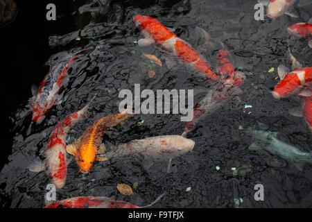 Koi fishes japanese carps swimming in pond stock photo for Pool koi aquatics ltd