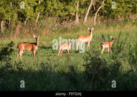 A family of whitetail deer on high alert - Stock Photo