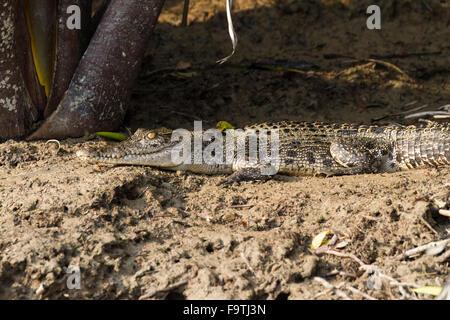 Saltwater crocodile (Crocodylus porosus) basking - Stock Photo