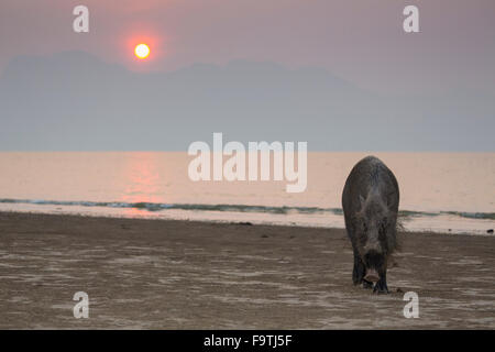 Bornean bearded pig (Sus barbatus) on a beach at sunset - Stock Photo