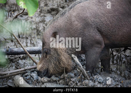 Bornean bearded pig (Sus barbatus) foraging in mud - Stock Photo