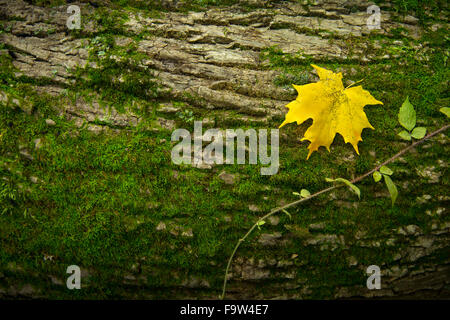 Yellow Maple Leaf On Moss Covered Log, Pennsylvania, USA - Stock Photo
