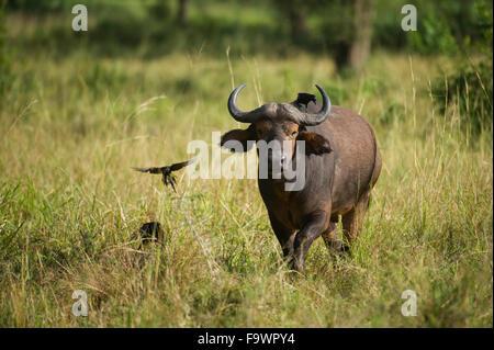 Buffalo (Syncerus caffer caffer), Semliki Wildlife Reserve, Uganda - Stock Photo