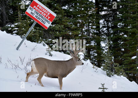 An adult mule deer buck under a no hunting sign in rural Alberta Canada - Stock Photo