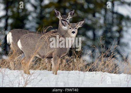 A mother and fawn mule deer standing on a hill in the fresh snow in rural Alberta Canada.