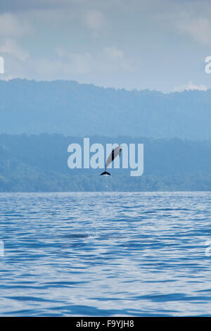 Inshore Pantropical Spotted Dolphin, Stenella attenuata graffmani, jumping, Drake Bay, Osa Peninsuala, Costa Rica, - Stock Photo