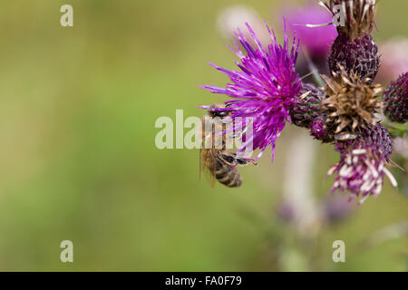 Greater Marsh Thistle; Cirsium palustre Honey Bee on Flower Cornwall; UK - Stock Photo