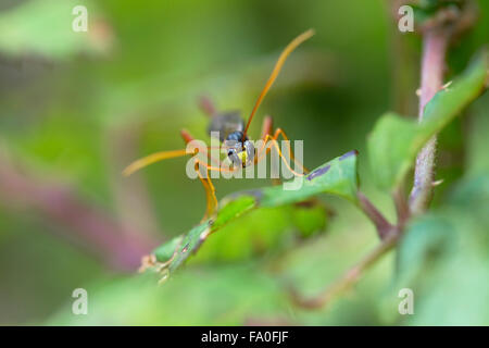 Ichneumon Fly; Habrocampulum biguttatum Single on Leaf; Cornwall; UK - Stock Photo
