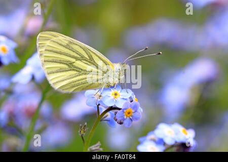 Underside of Green-veined white Pieris napi butterfly on forget me not flower - Stock Photo