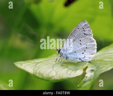 Holly blue butterfly Celastrina argiolus underside - Stock Photo