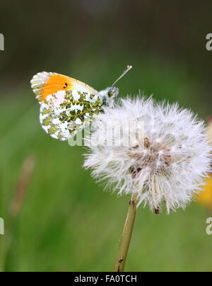Orange tip butterfly Anthocharis cardamines  in the English countryside in the springtime on a Dandelion seed head - Stock Photo