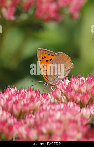 Underside of Small Copper Butterfly Lycaena phlaeas on Sedum spectabile flower head in the English Autumn England - Stock Photo
