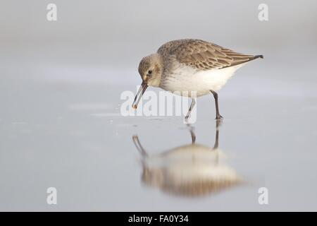 Dunlin - Calidris alpina - juvenile, first winter plumage feeding along the tide line. Lade beach, Dungeness, Kent - Stock Photo