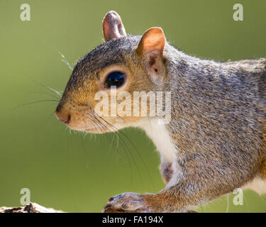 A portrait of a grey squirrel - Stock Photo