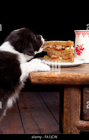 Smart border collie puppy caught in the act of stealing a sandwich - Stock Photo