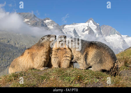 Alpine marmot in front of Großglockner, High Tauern National Park, Carinthia, Austria, Europe / Marmota marmota - Stock Photo