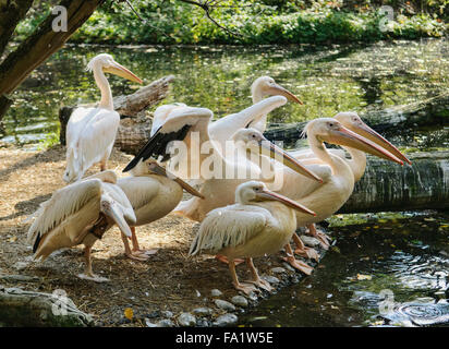 Pink-backed pelicans (Pelecanus rufescens) resting - Stock Photo