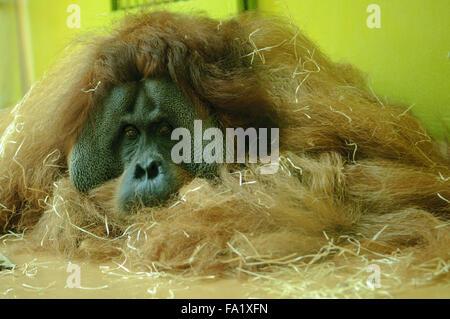 Sumatran orangutan (Pongo abelii) - Stock Photo