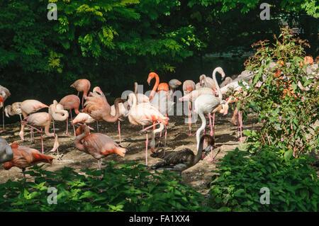 Greater flamingoes (Phoeniconaias roseus) - Stock Photo