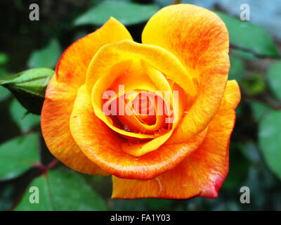 Yellow and Orange Color Fresh Rose with Petals in Morning Time - Stock Photo