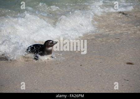 South Africa, Cape Town, Simon's Town, Boulders Beach. African penguin colony (Spheniscus demersus). - Stock Photo